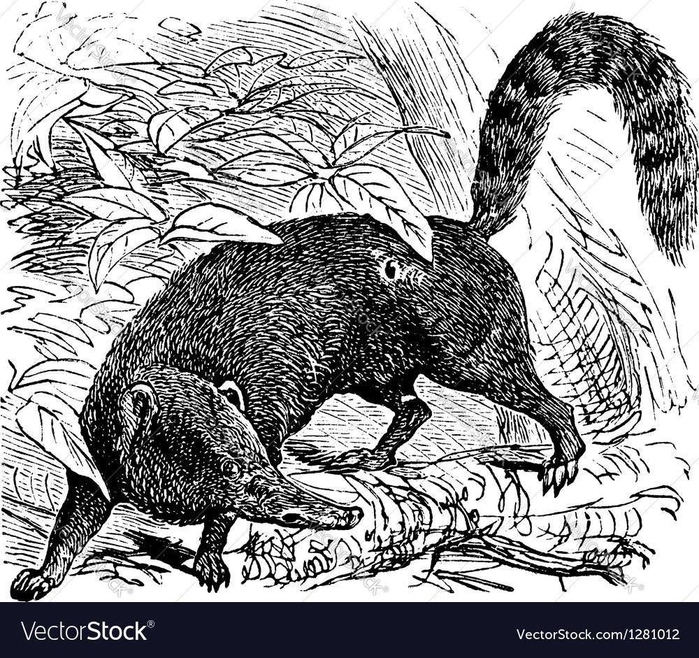 Coati Vintage engraving vector image