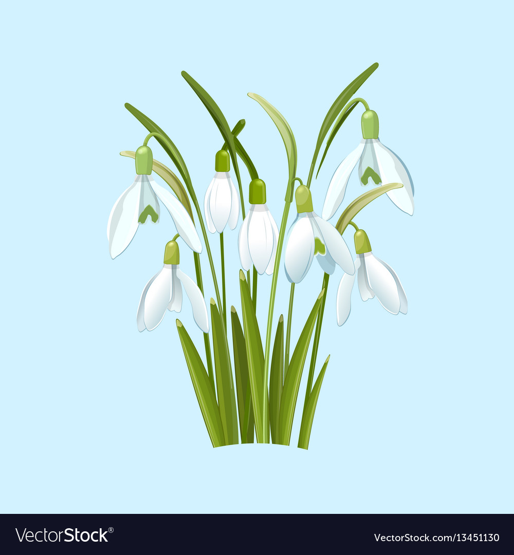 Snowdrops flowers on a blue background vector image