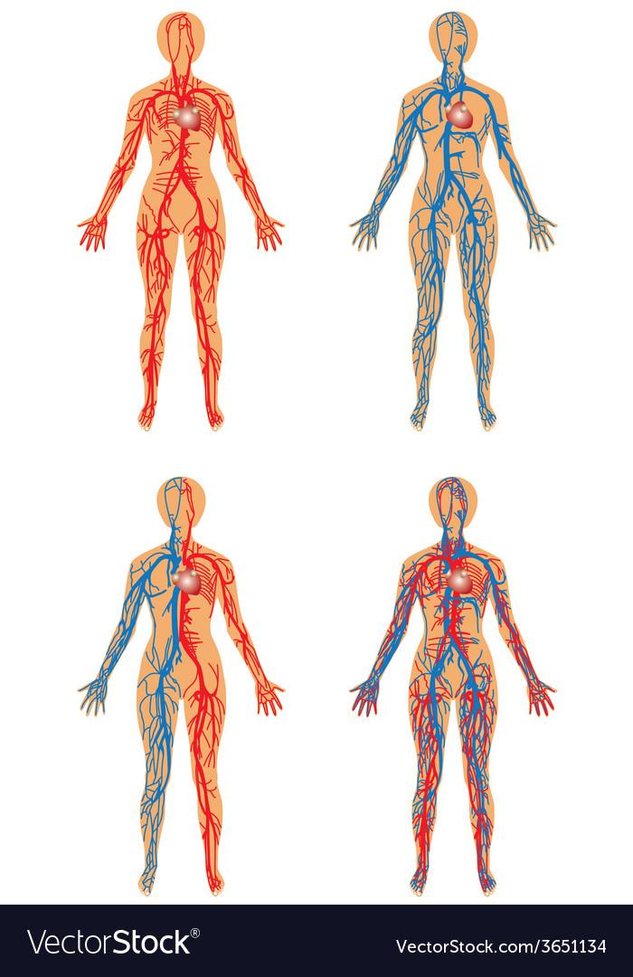 human vascular system royalty free vector image, Sphenoid