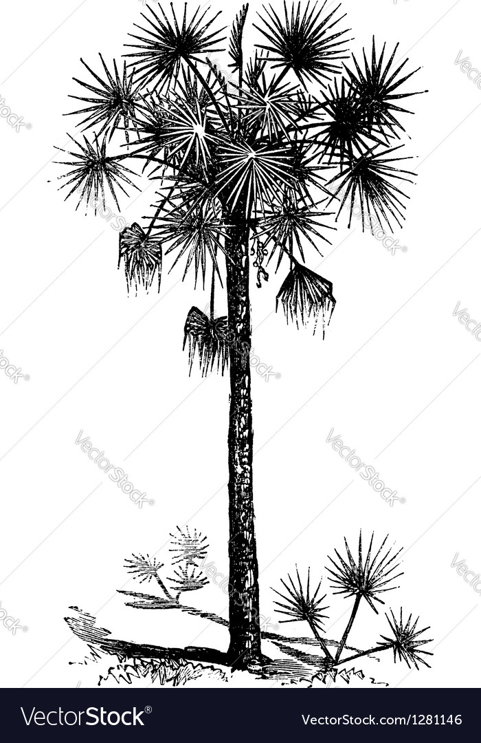 Cabbage Palm vintage engraving Vector Image