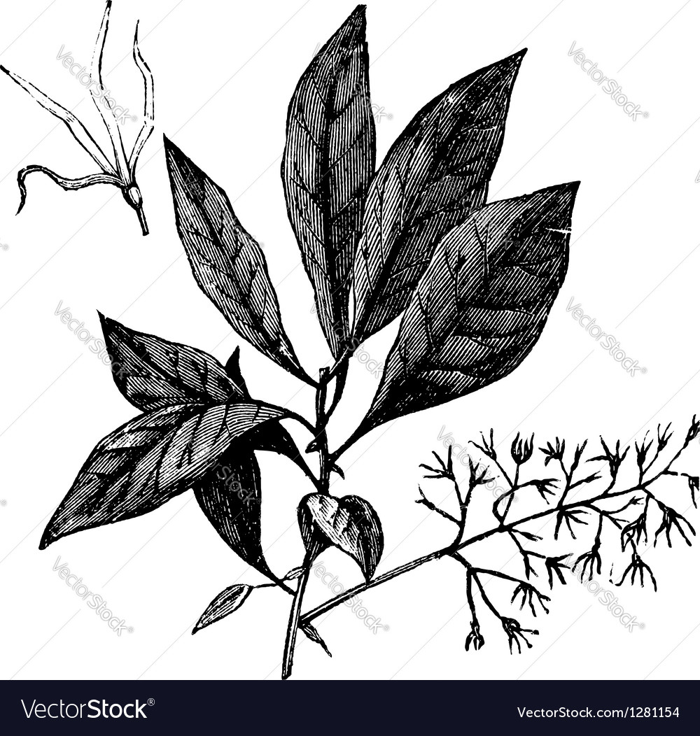 White Fringetree or Chionanthus virginicus vintage vector image