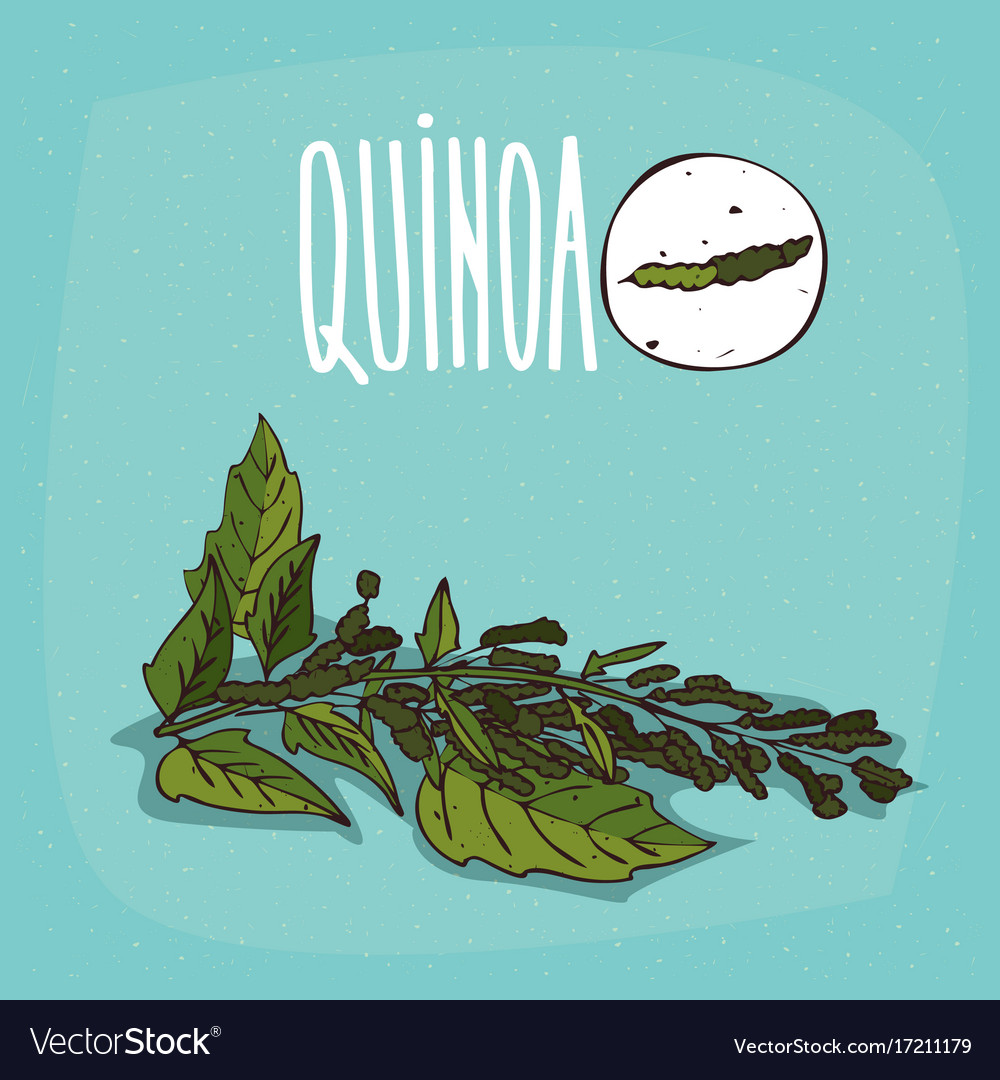 Set of isolated plant quinoa leaves herb vector image
