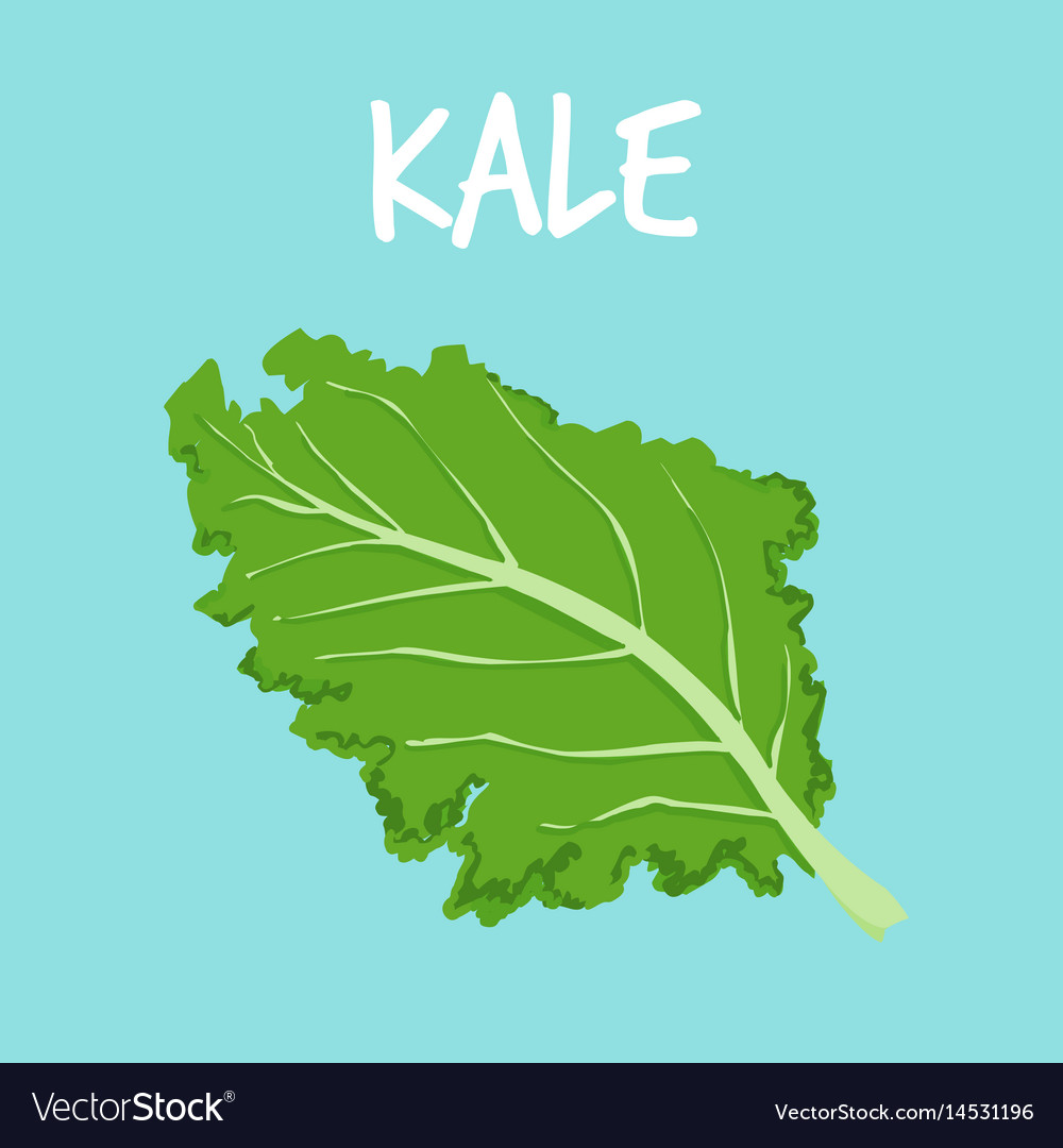 Fresh kale on blue balckground vector image
