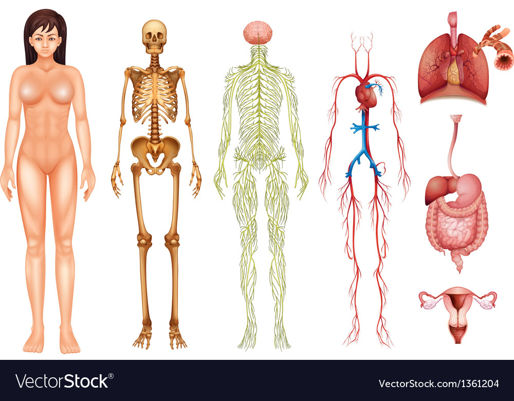 human body systems royalty free vector image - vectorstock, Human Body