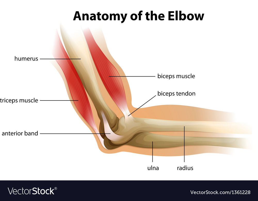 Anatomy human elbow vector image