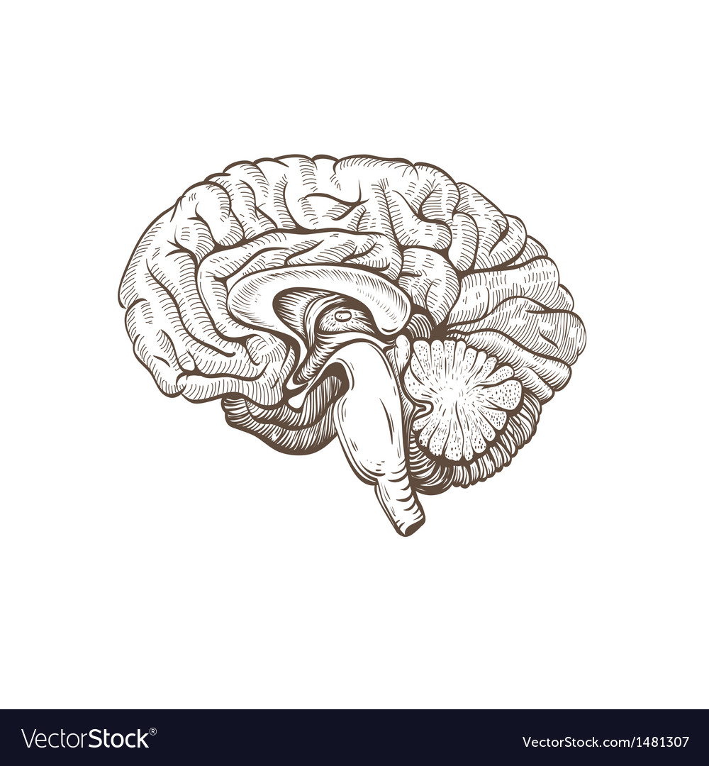 Brain isolated on a white backgrounds vector image