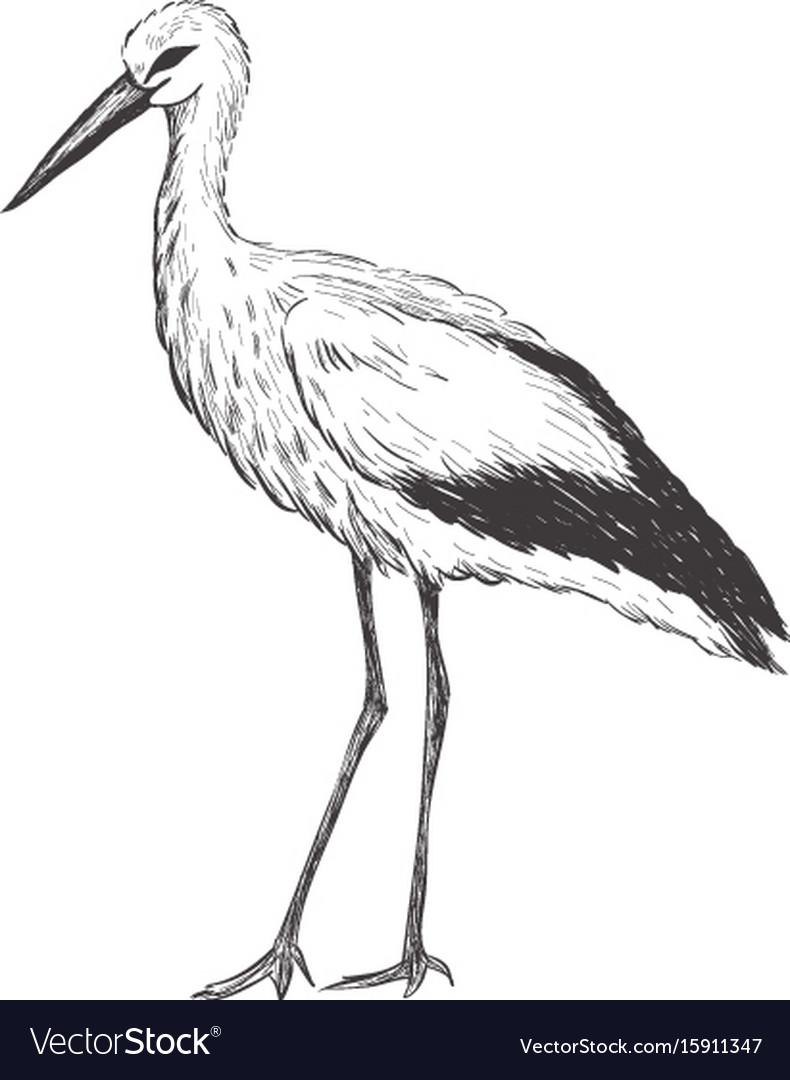 Stork sketch vector image