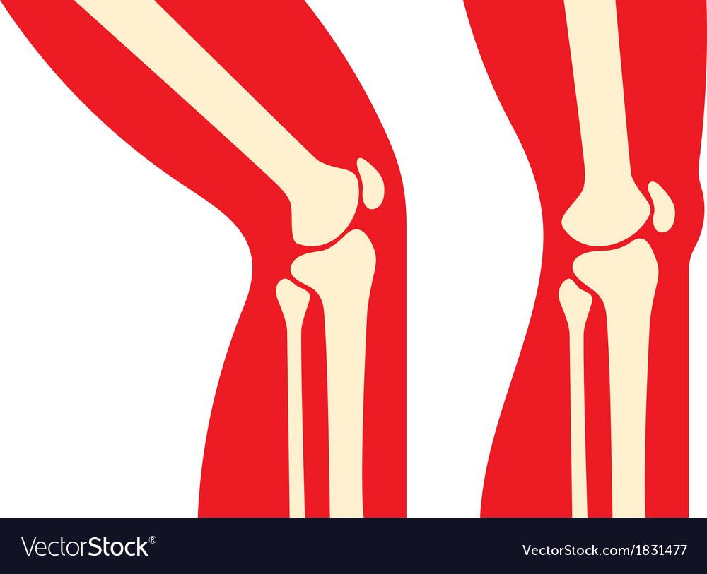 Knee anatomy Royalty Free Vector Image - VectorStock