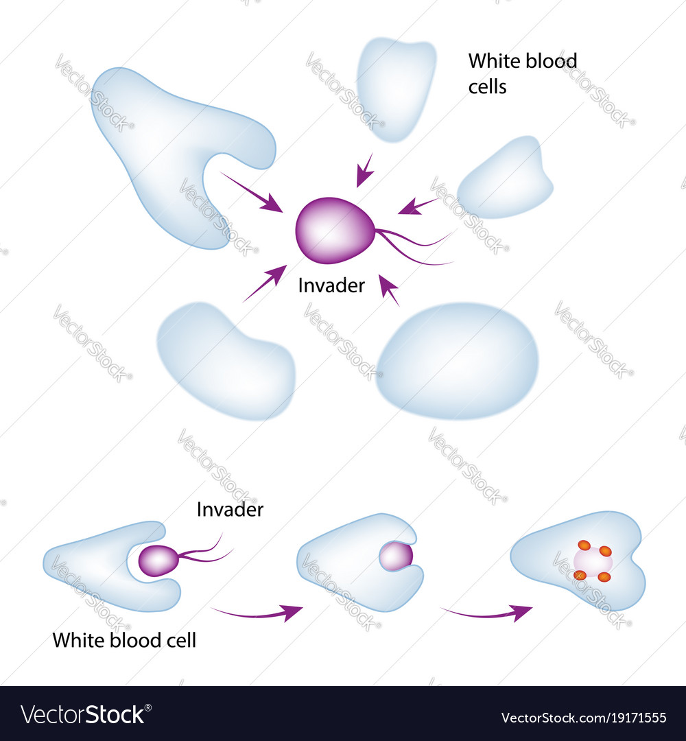 Basic mechanism of the immune system vector image