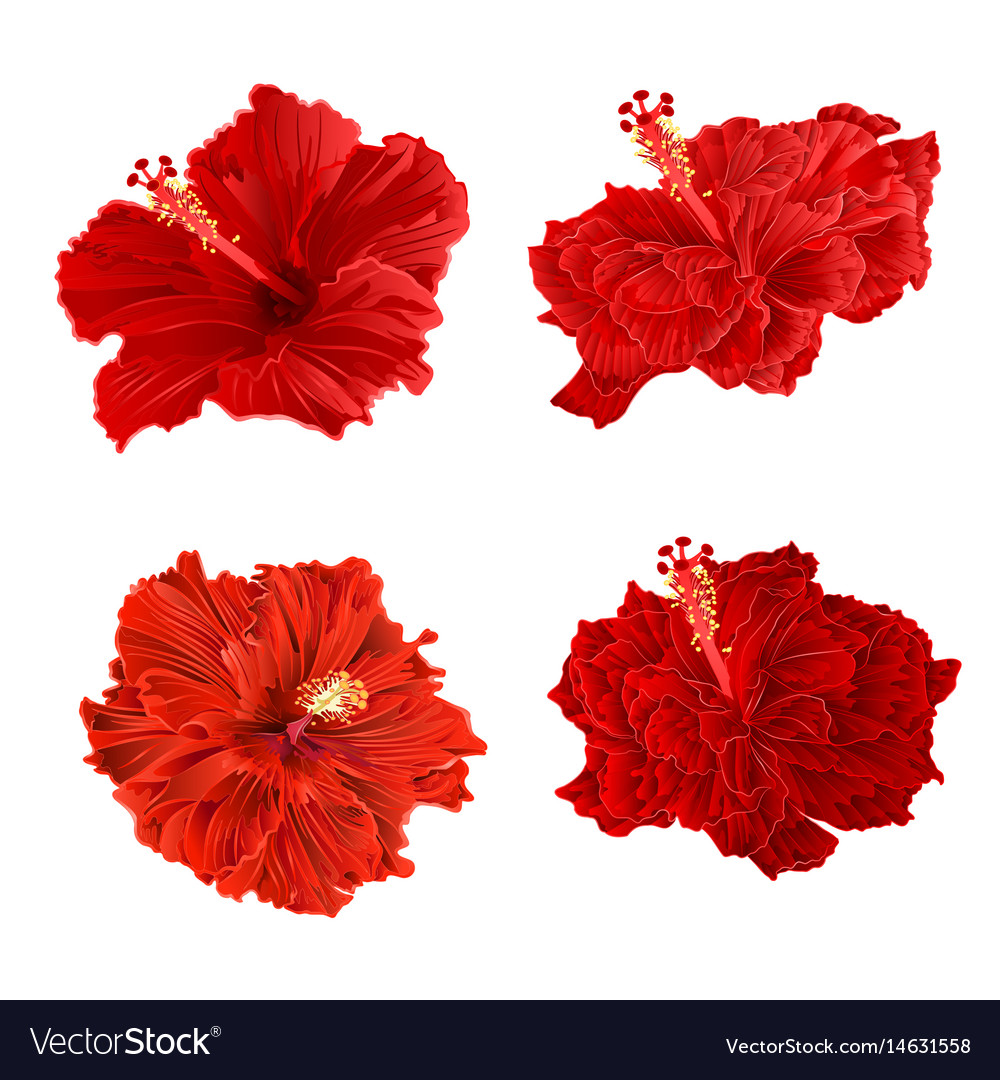 Red hibiscus corrugated tropical plant vintage vector image
