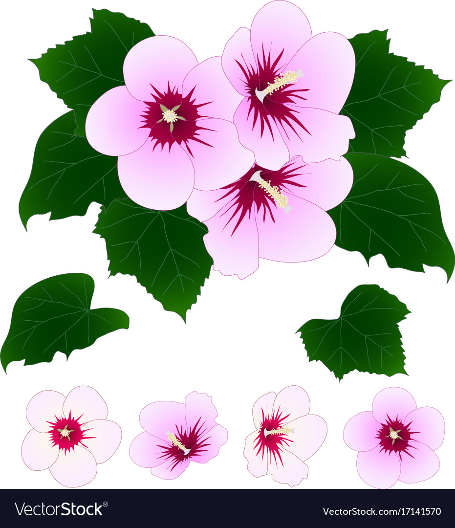 Hibiscus syriacus - rose of sharon vector image
