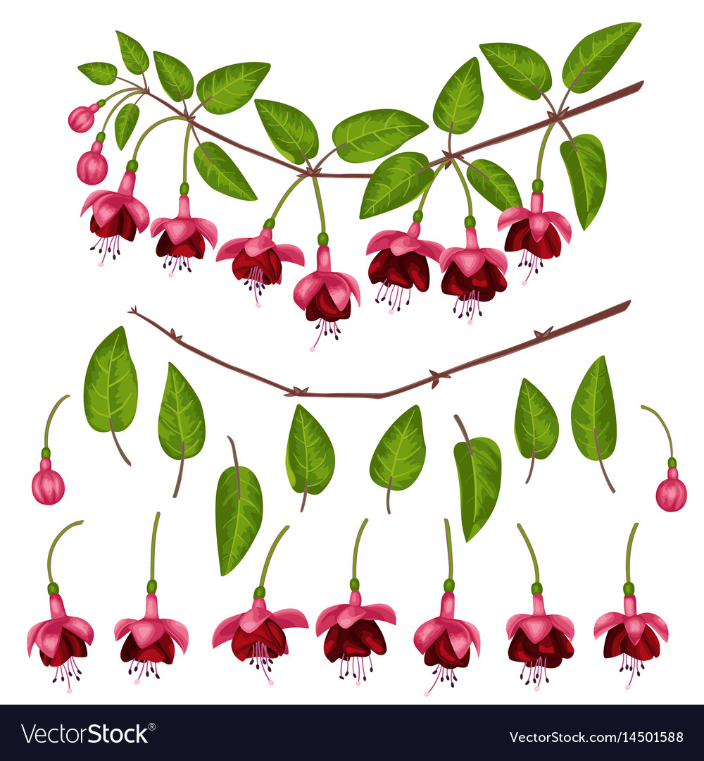 Fuchsia elements set vector image