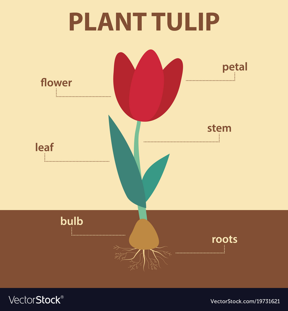 Diagram showing parts of tulip whole plant vector image pooptronica Image collections