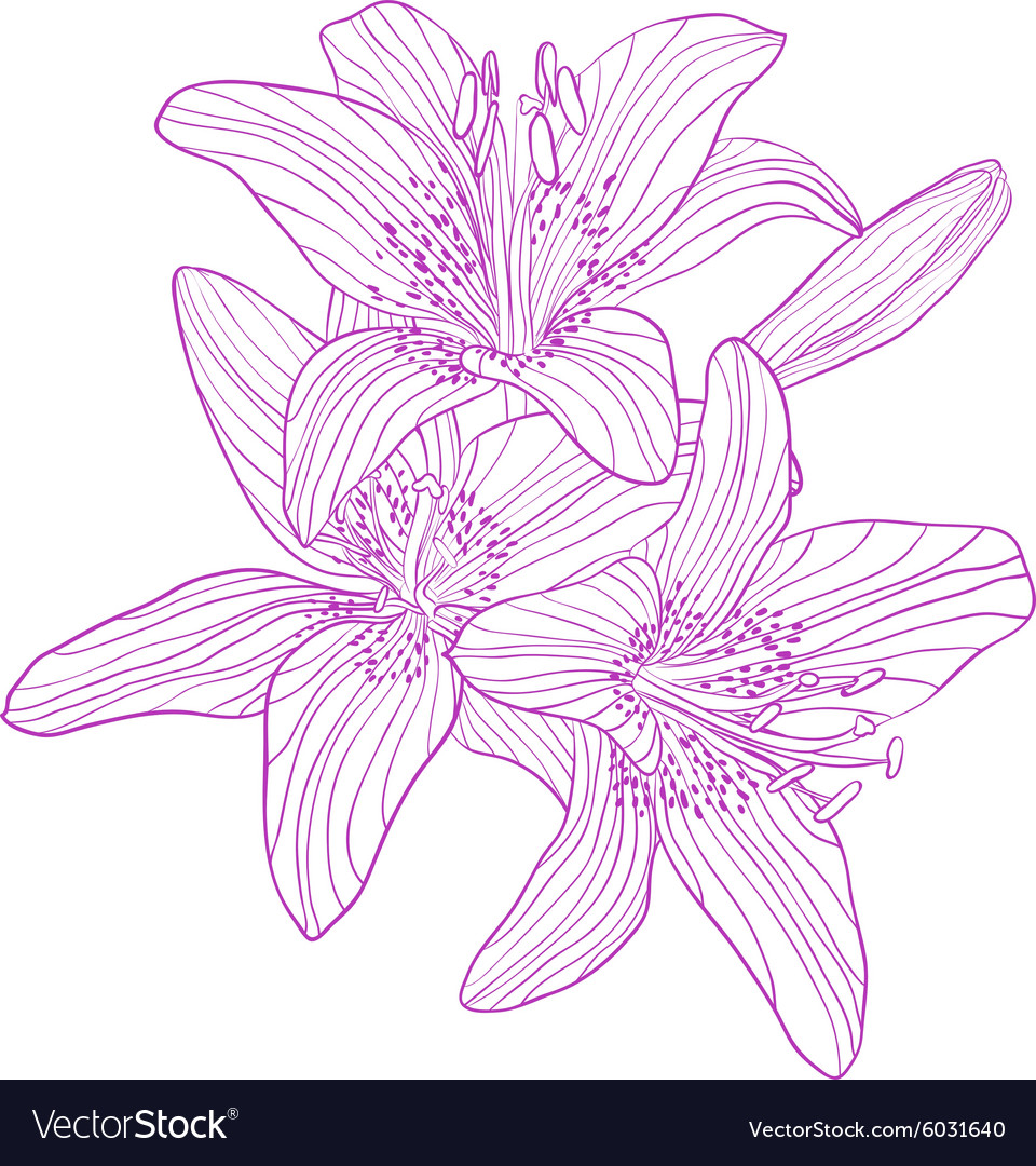 Graphic drawing bouquet of lilies vector image
