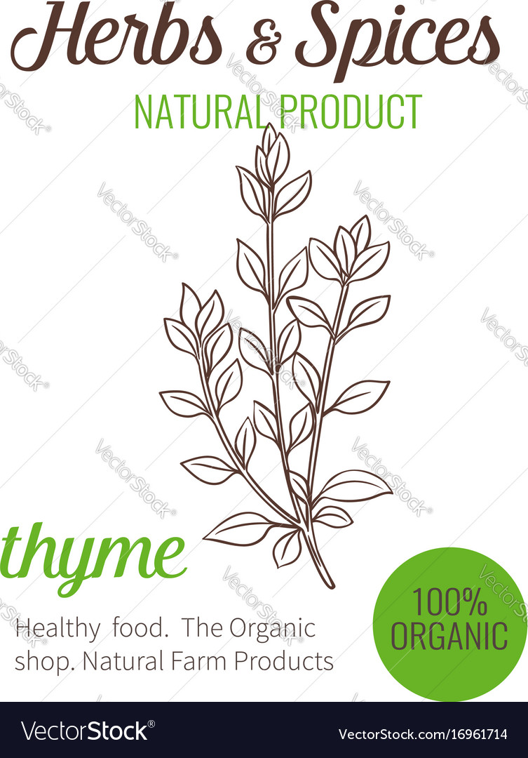 Hand drawn thyme vector image