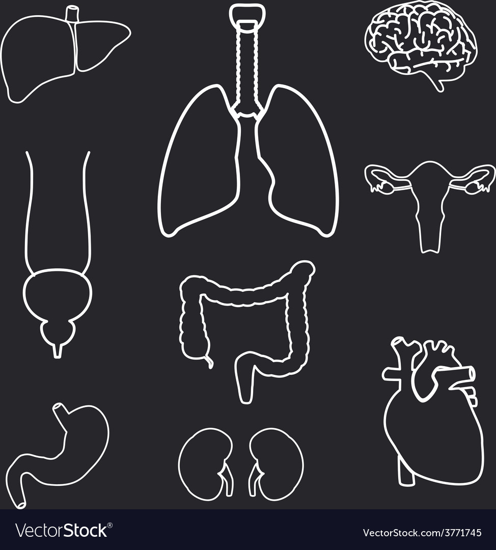 Internal human body organs outline symbols eps10 vector image