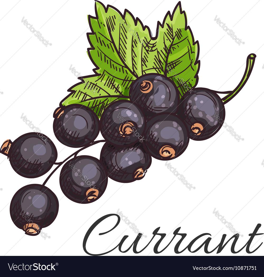 Black currant fruit branch with leaf sketch vector image