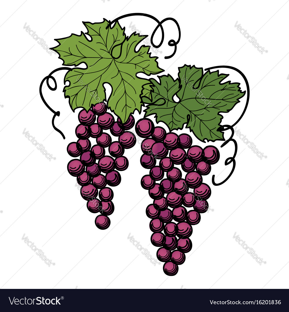 Grape branch engraved berry leaves vineyard vector image
