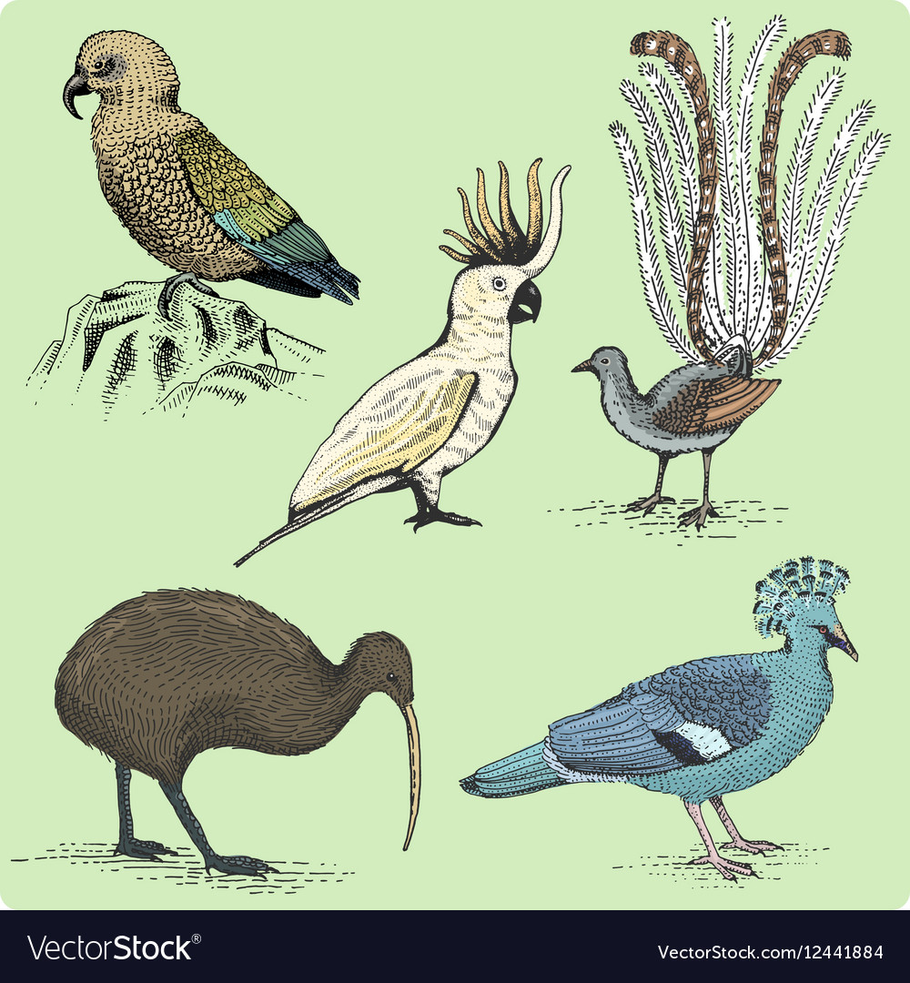 Set of australian birds engraved hand drawn vector image