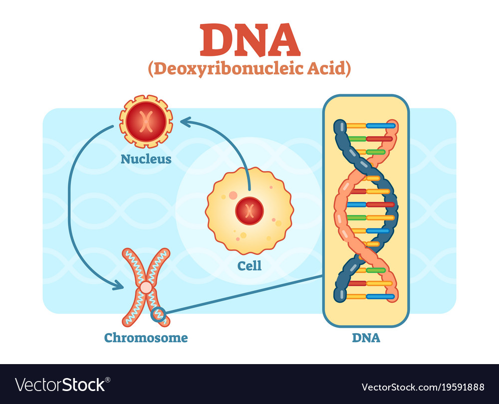 Cell nucleus chromosome dna diagram scheme vector image ccuart Choice Image