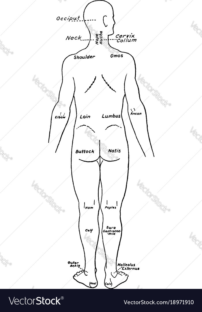 Back View Of The Parts Of The Human Body Labeled Vector Image