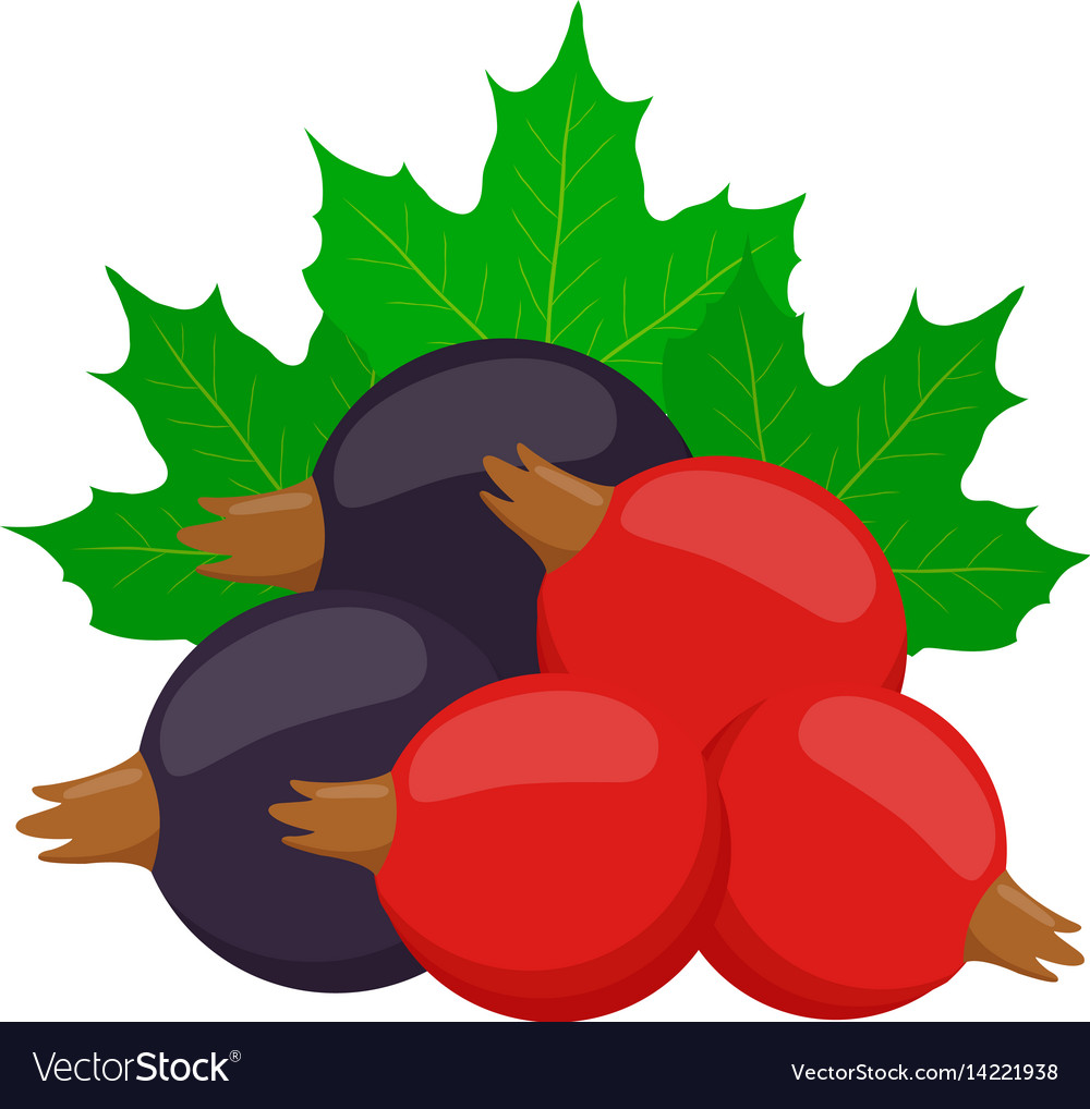 Fresh berries black and red currant vector image