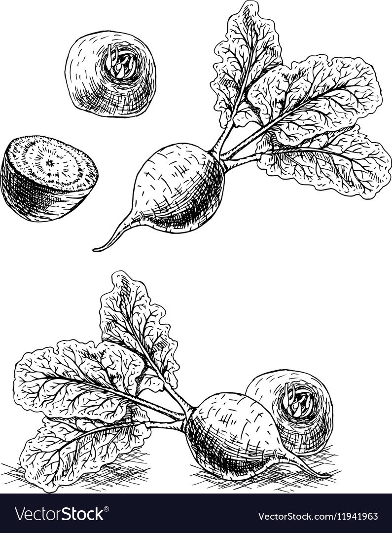 Hand drawn set of beets sketch vector image