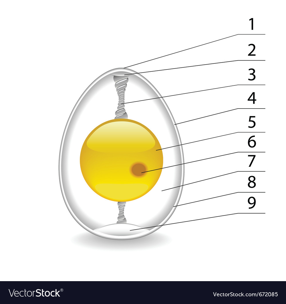 Structure of an egg royalty free vector image vectorstock structure of an egg vector image pooptronica