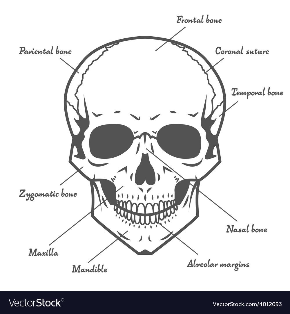 Skull anatomy at white background vector image