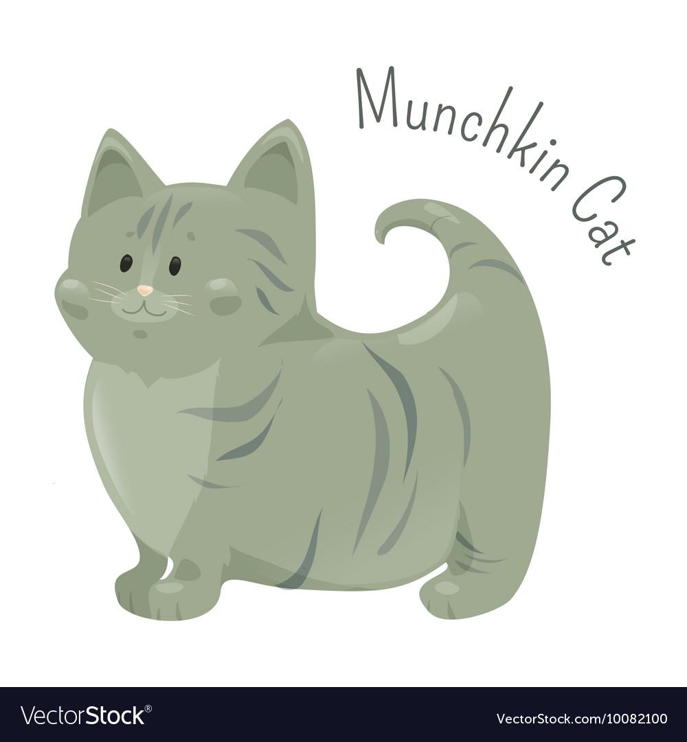 Munchkin cat isolated Very short legs type vector image