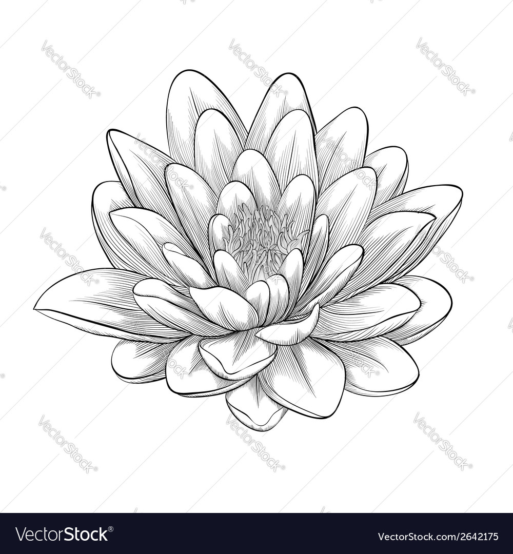 Black and white lotus flower royalty free vector image black and white lotus flower vector image izmirmasajfo Image collections