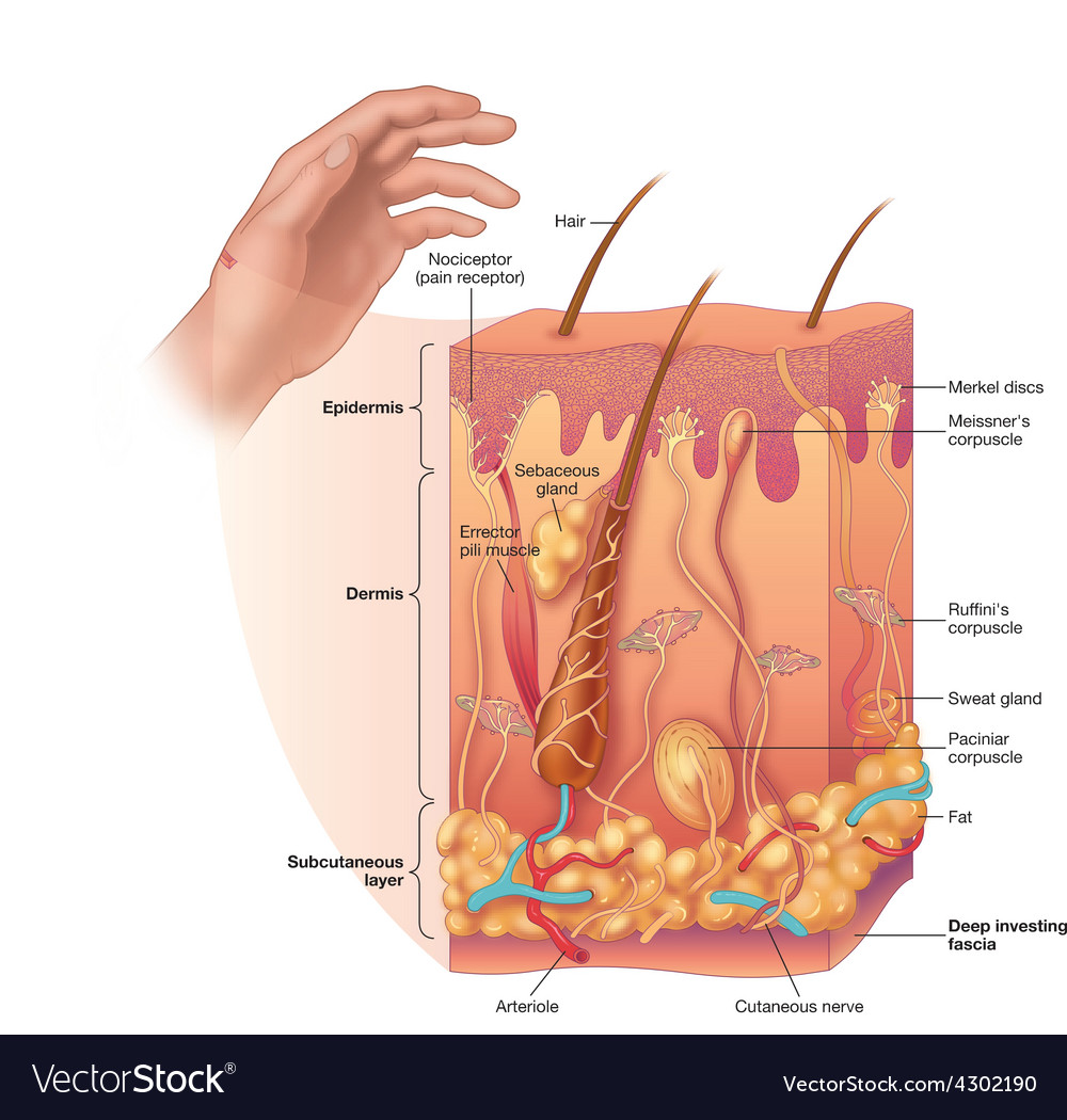 Skin layers with detail vector image