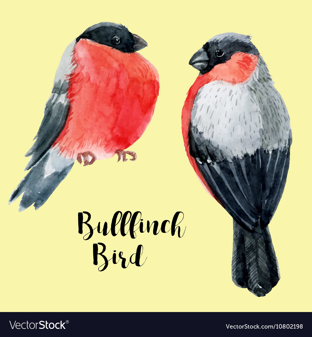 Watercolor hand drawn bullfinch vector image
