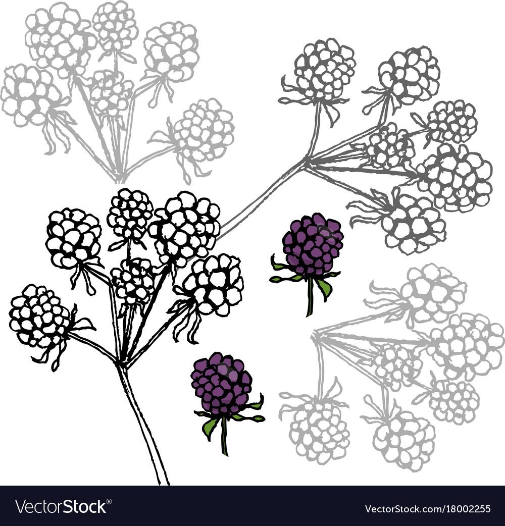 Brambleberry liner on white vector image
