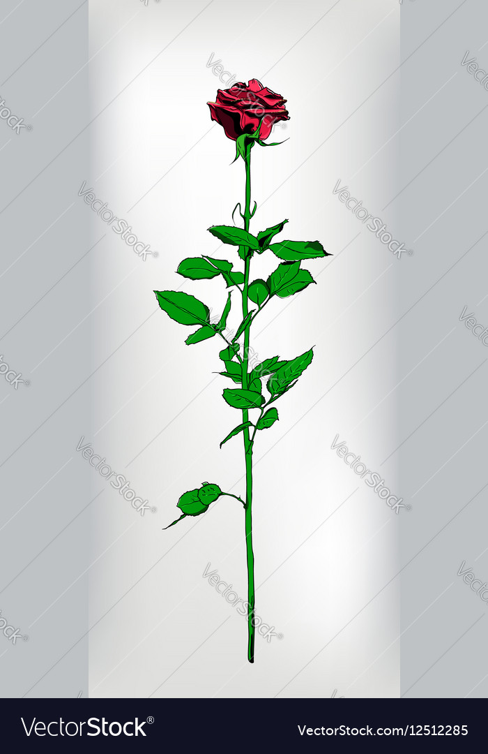 Single long stem red Rose Hand drawn realistic vector image