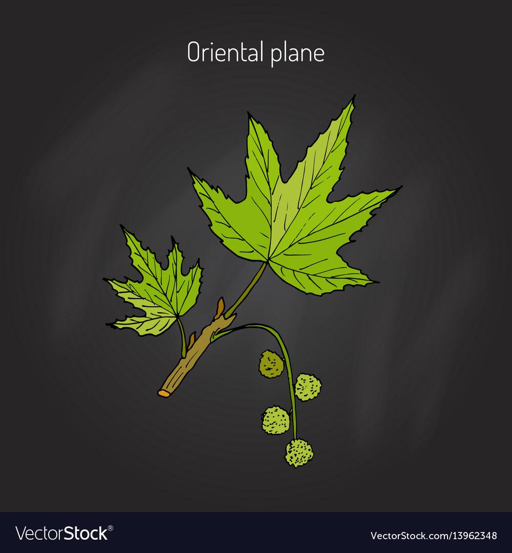 Occidental plane tree vector image