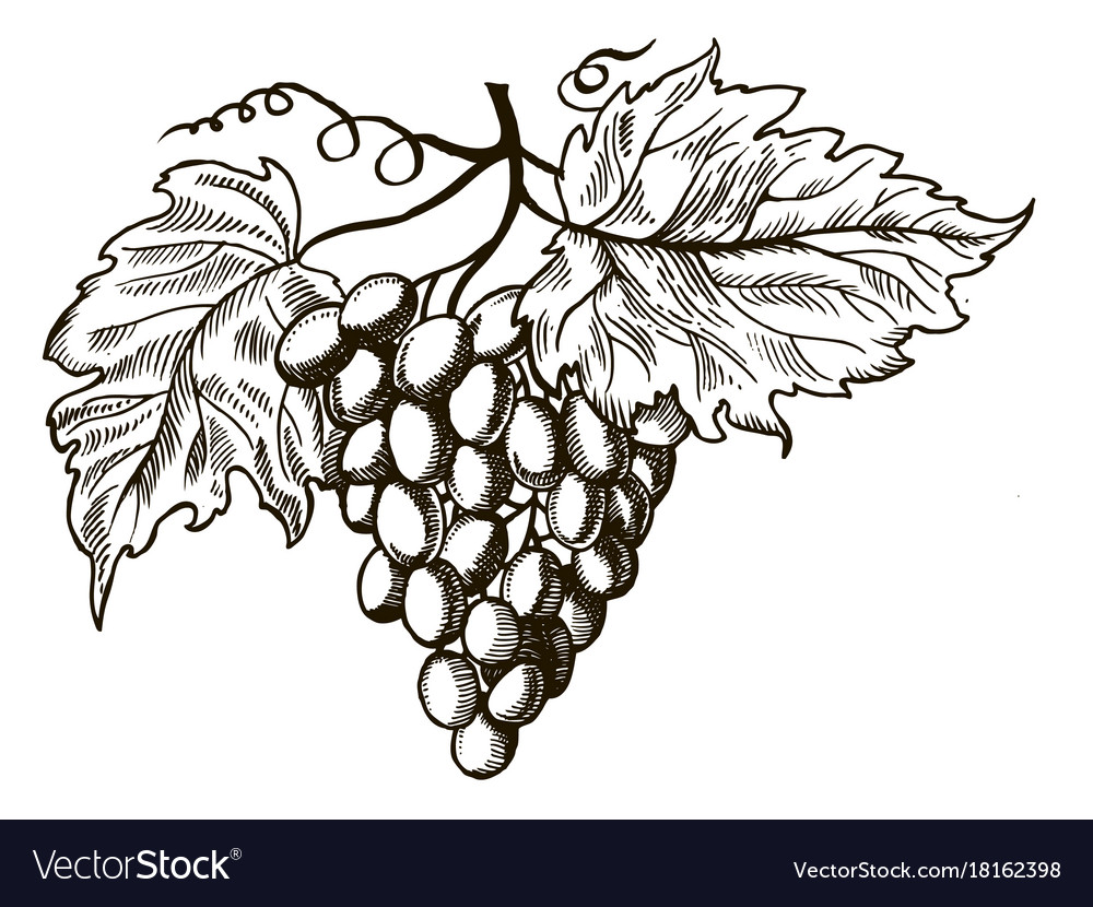 Grapes with leaves engraving Royalty Free Vector Image