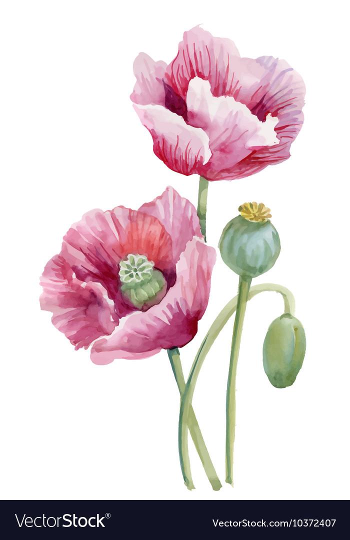 Watercolor blooming poppy flowers vector image