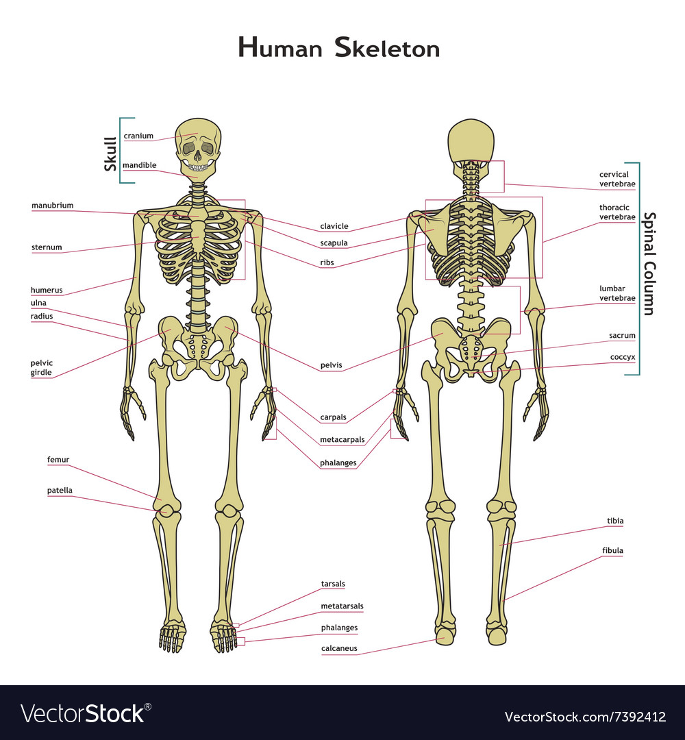 human skeleton front and rear view with royalty free vector image, Skeleton