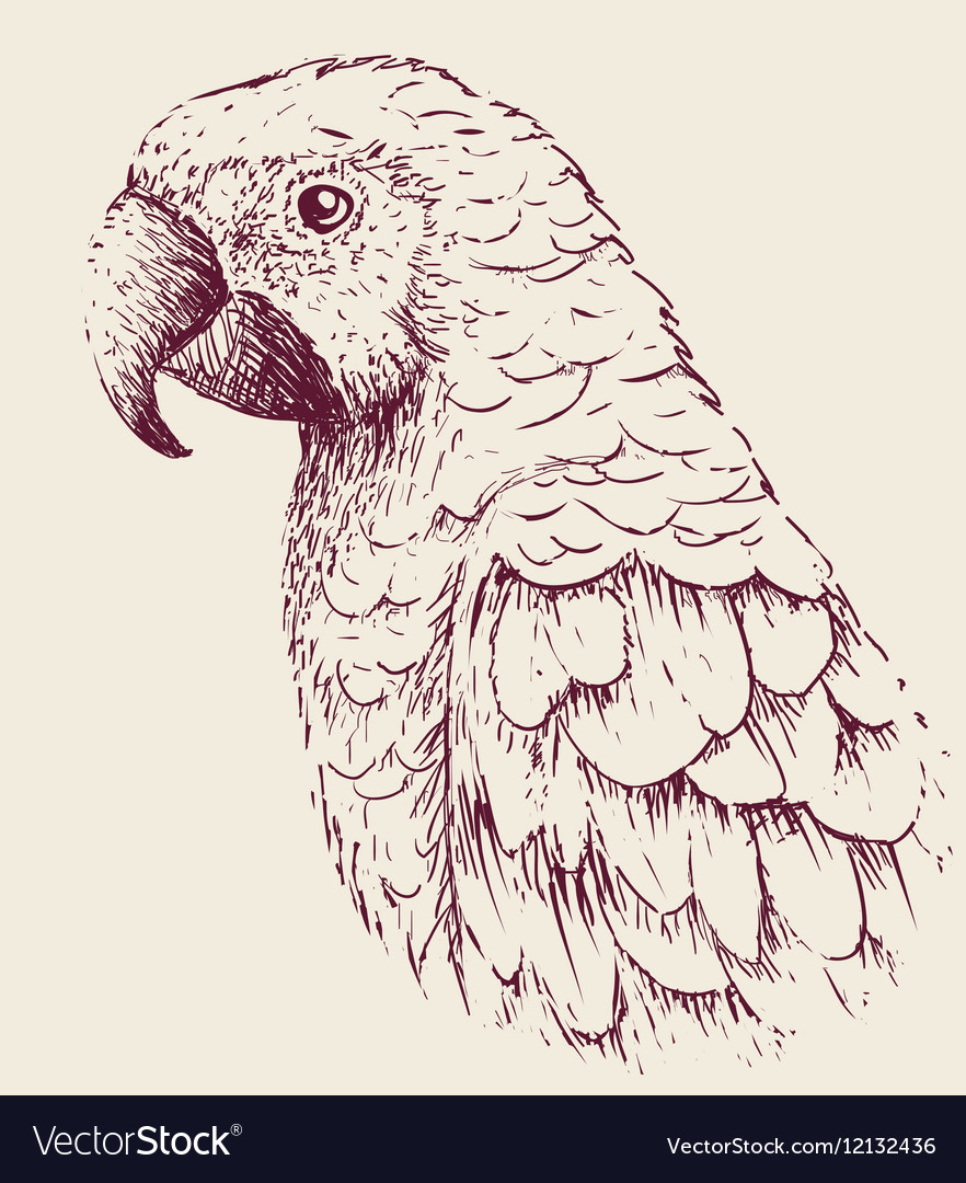 Parrot close up vector image