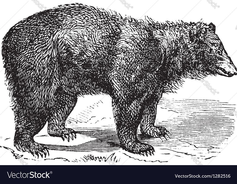 American Black bear engraving vector image