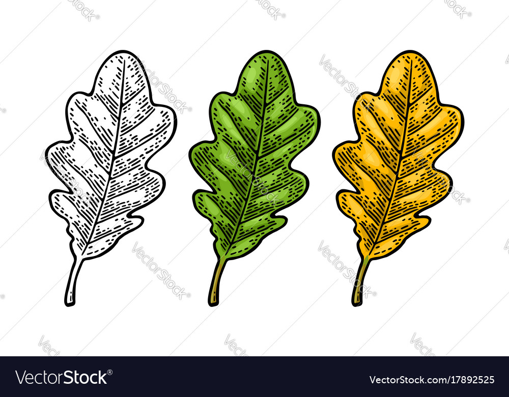 Oak leaf spring green and autumn orange vector image
