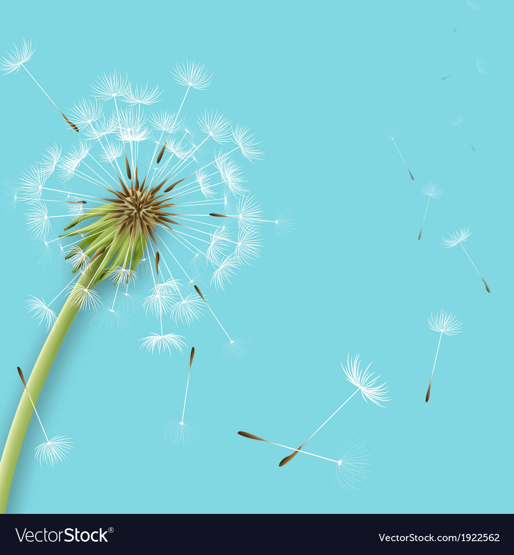 White dandelion with pollens isolated vector image