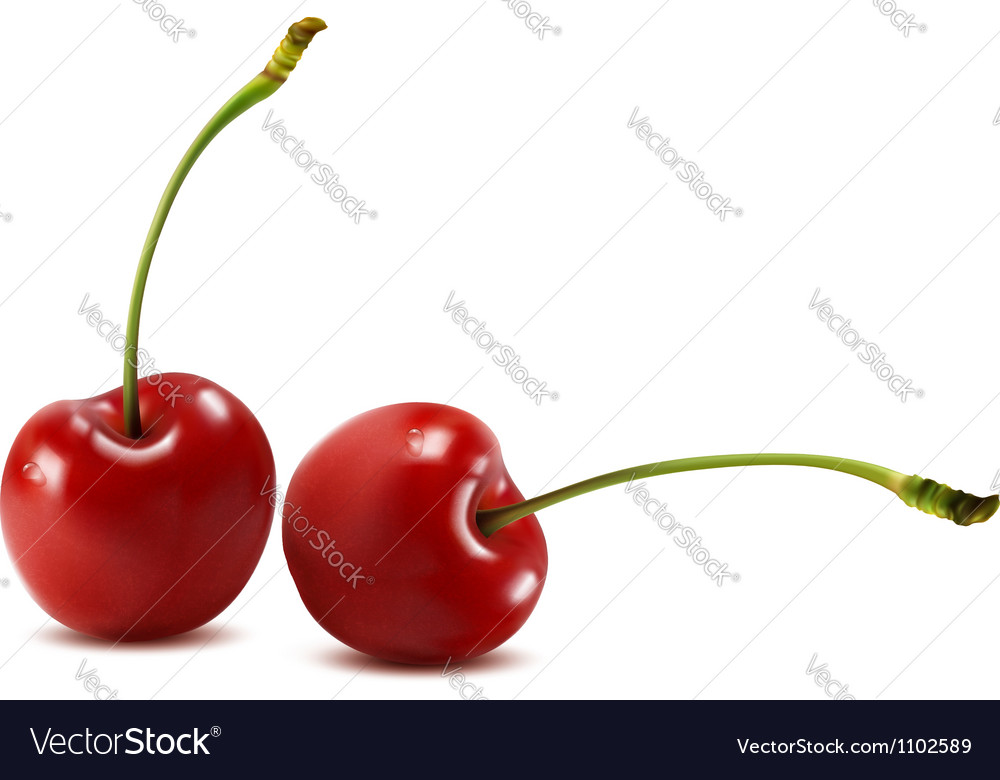 Sweet cherry isolated on white vector image