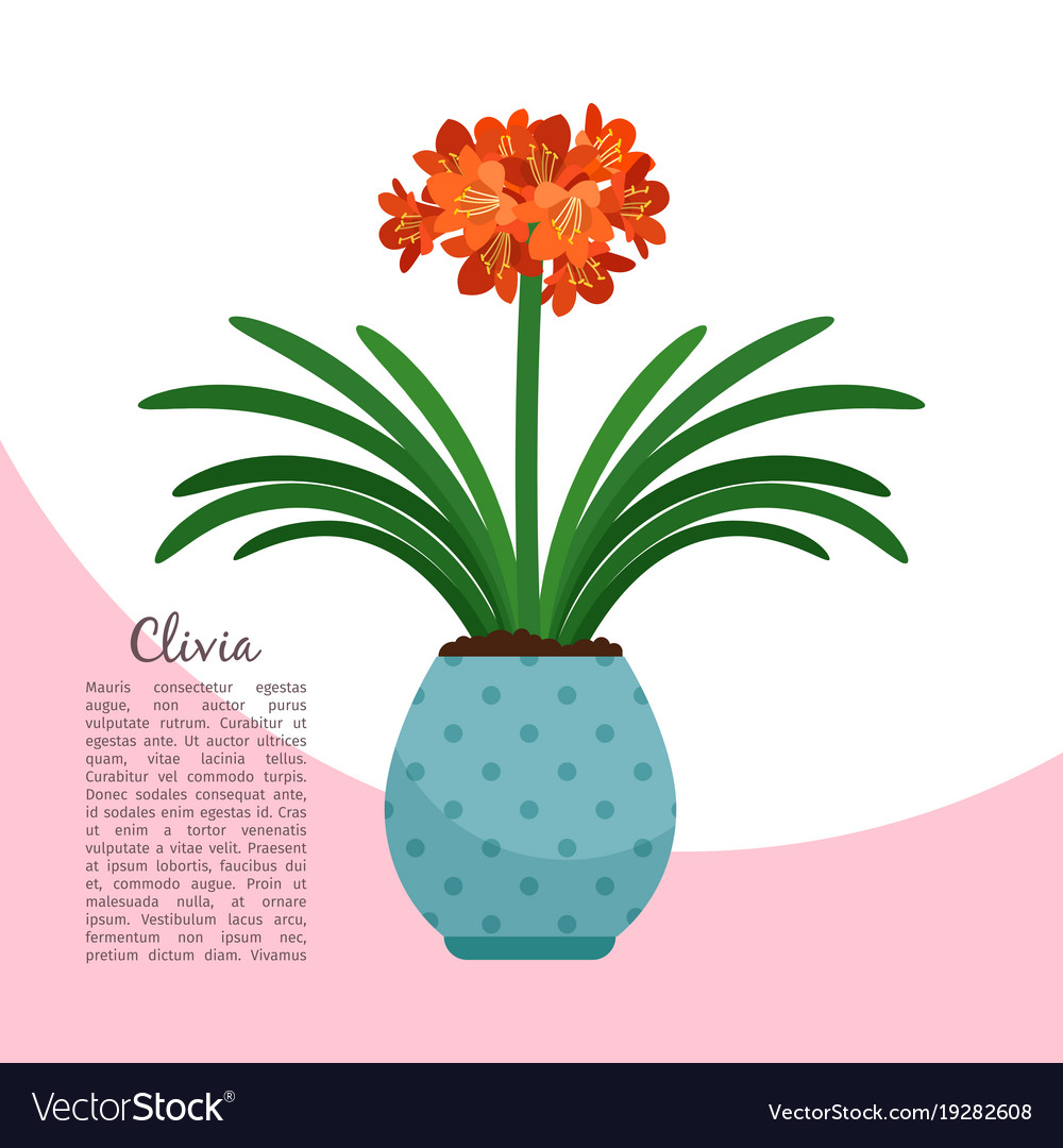 Clivia plant in pot banner Royalty Free Vector Image