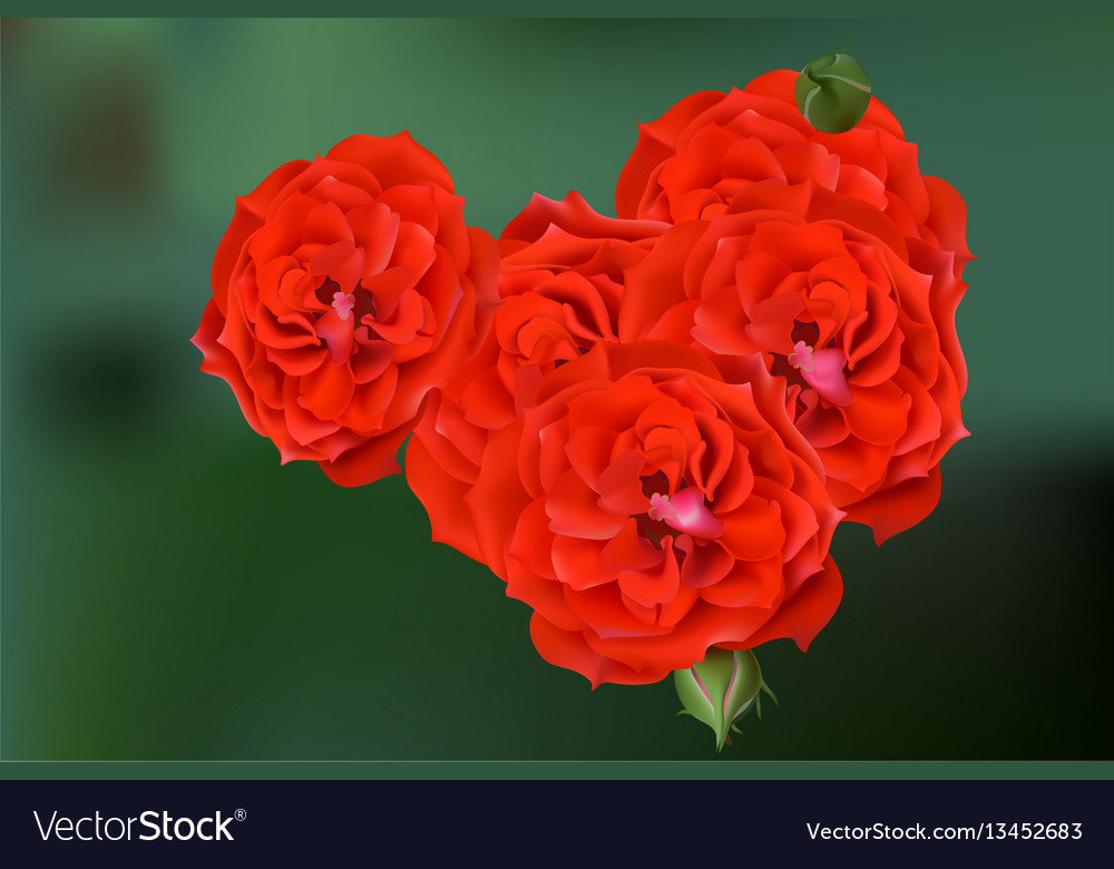 Red rose blossom card background beautiful vector image