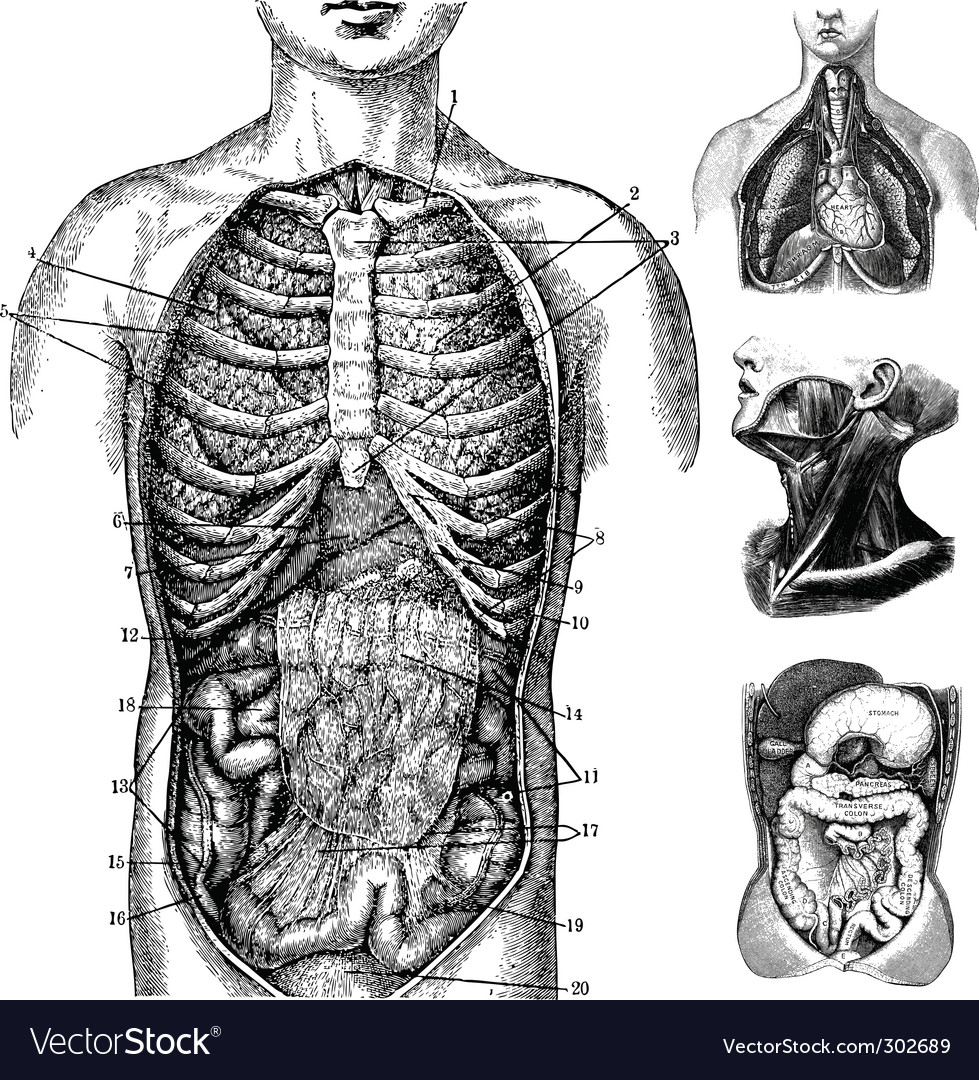 Anatomical cutaways vector image