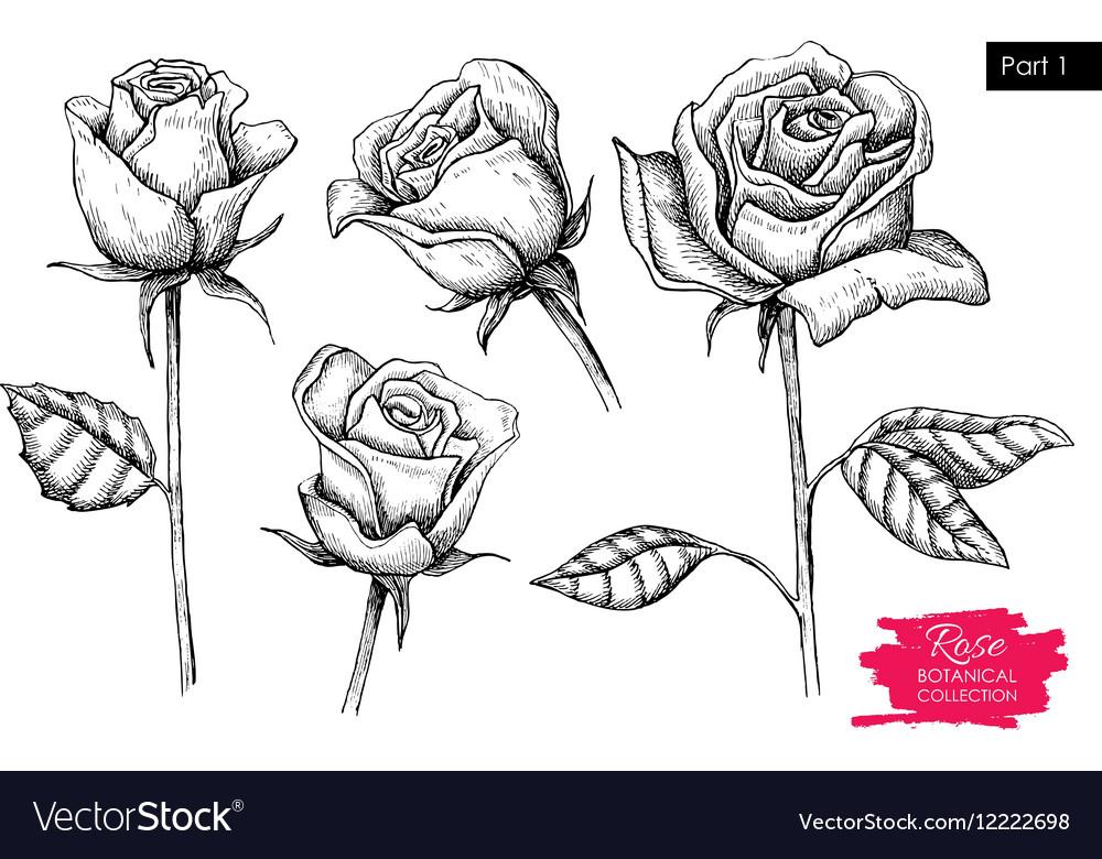 Hand drawn botanical rose set Engraved vector image