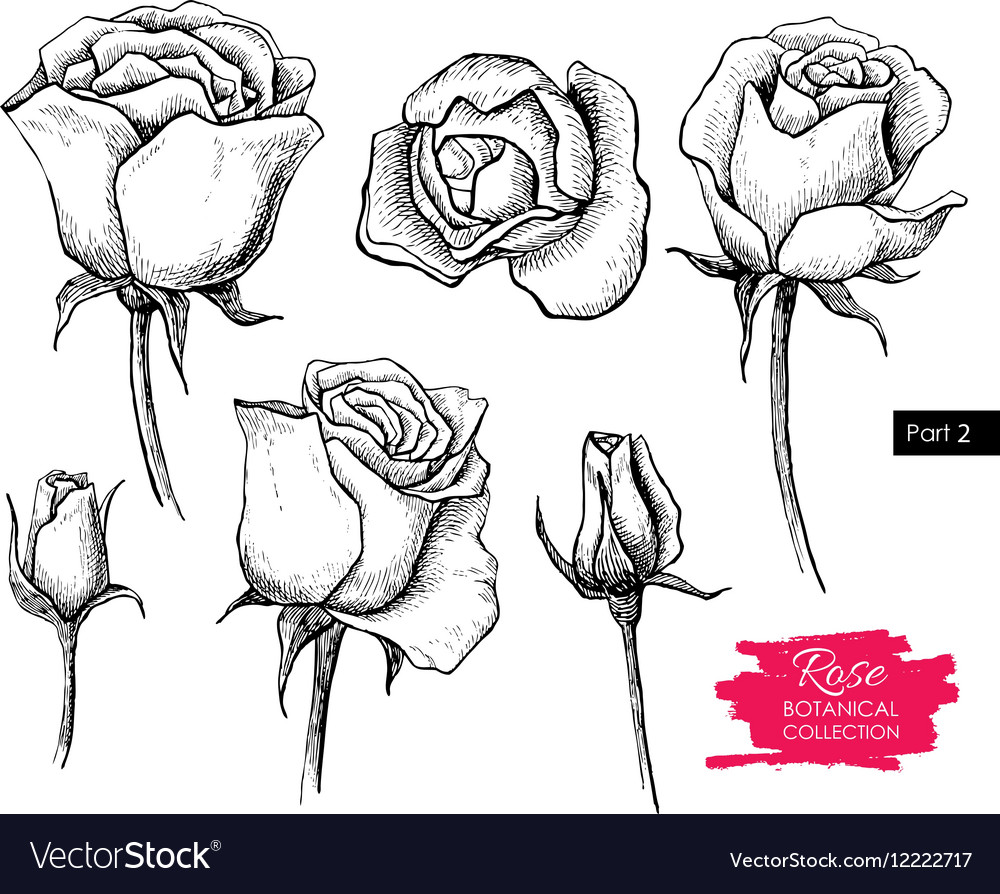 Hand drawn botanical rose set Engraved vector image