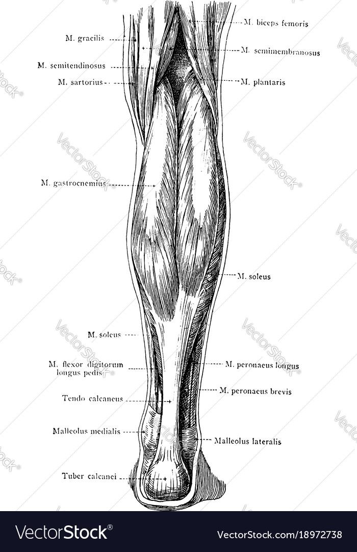 Ungewöhnlich Posterioren Ellenbogen Anatomie Fotos - Menschliche ...